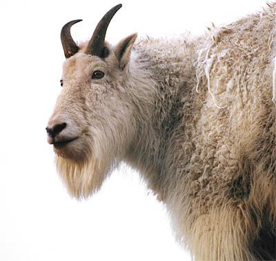 Chinese Goats